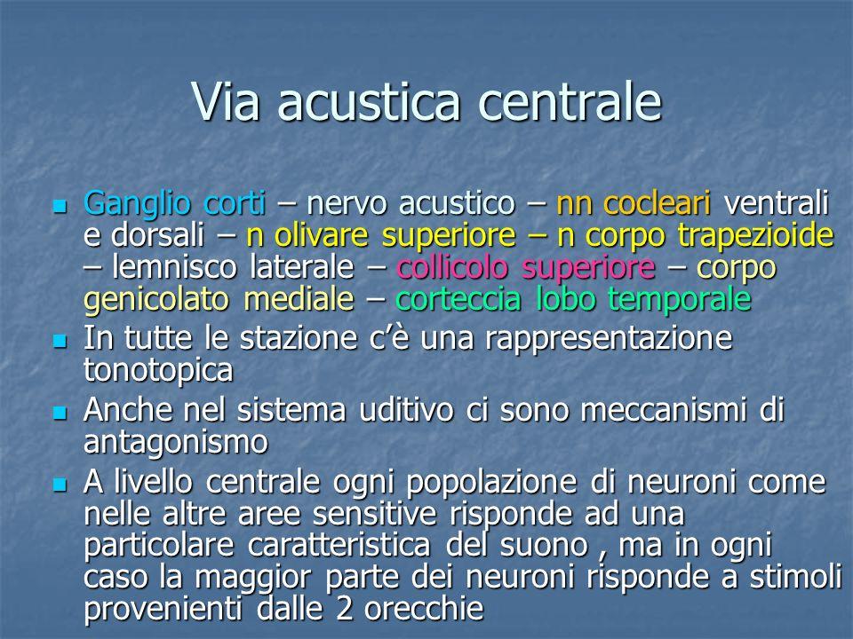 Via acustica centrale Ganglio corti – nervo acustico – nn cocleari ventrali e dorsali – n olivare superiore – n corpo trapezioide – lemnisco laterale