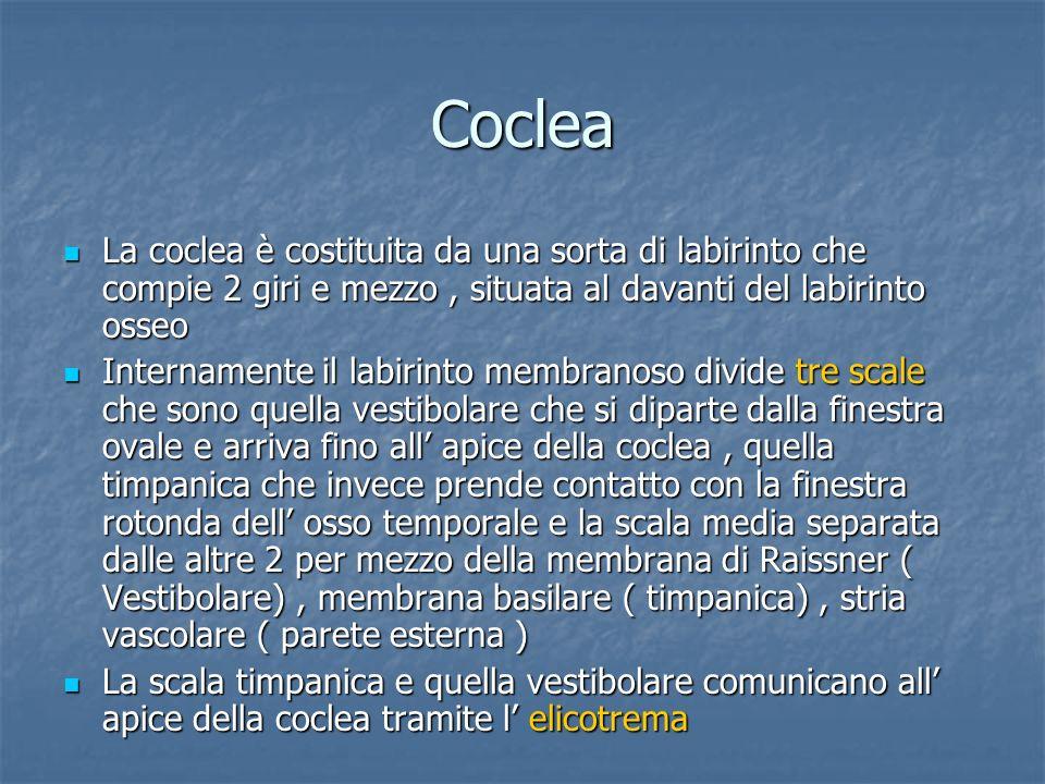 Coclea La coclea è costituita da una sorta di labirinto che compie 2 giri e mezzo, situata al davanti del labirinto osseo La coclea è costituita da un