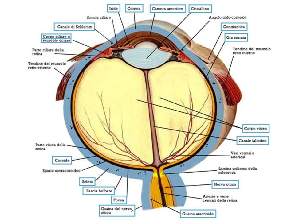 Periodo post-natale Sviluppo dellapparato visivo Periodo embrionale Periodo fetale fino alla fine 2° mese dal 3° al 9° mese nascita fino a 20-25 anni di età