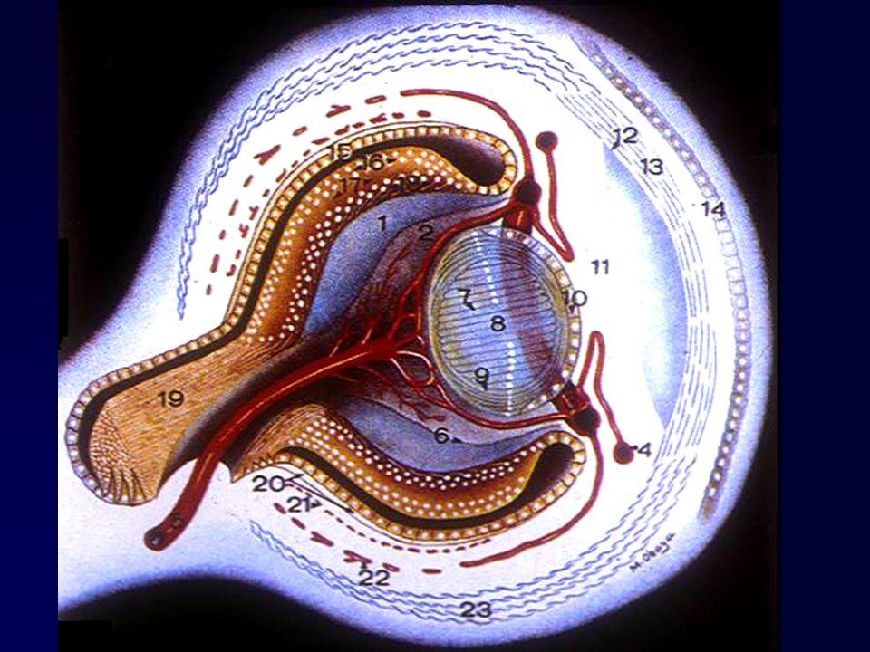 3° mese Abbozzo oculare di circa 1 mm.