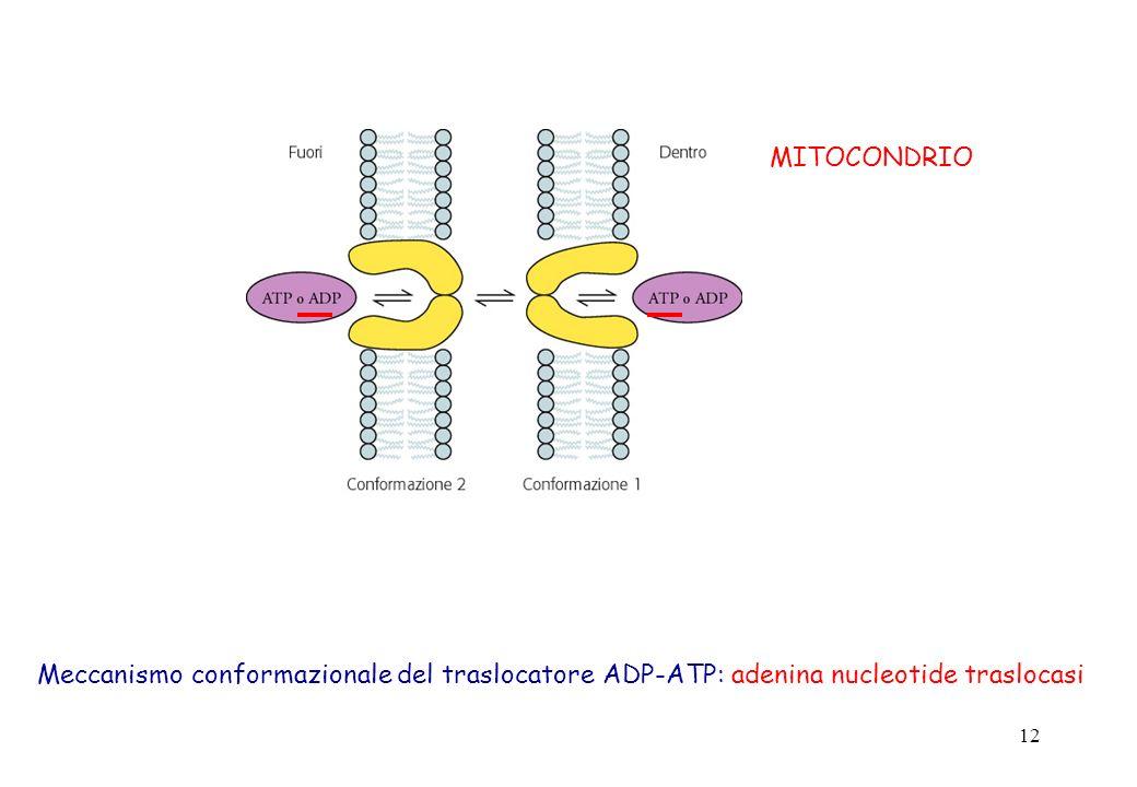 12 Meccanismo conformazionale del traslocatore ADP-ATP: adenina nucleotide traslocasi MITOCONDRIO