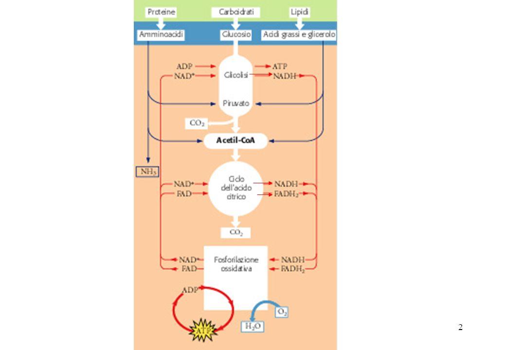 3 Gli organismi aerobici durante il processo di ossidazione dei carburanti metabolici consumano ossigeno e producono biossido di carbonio : C 6 H 12 O 6 + 6O 2 6CO 2 + 6 H 2 O suddivisa in due semireazioni: 6CO 2 + 12 H + + 12 e - 6O 2 + 12 H + + 12 e - 6 H 2 O C 6 H 12 O 6 + 6O 2 Ossidazione degli atomi di C del glucosio Riduzione dellossigeno molecolare