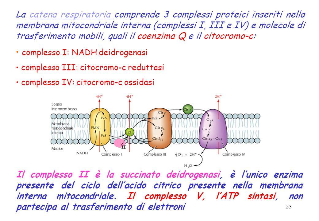 23 La catena respiratoria comprende 3 complessi proteici inseriti nella membrana mitocondriale interna (complessi I, III e IV) e molecole di trasferim