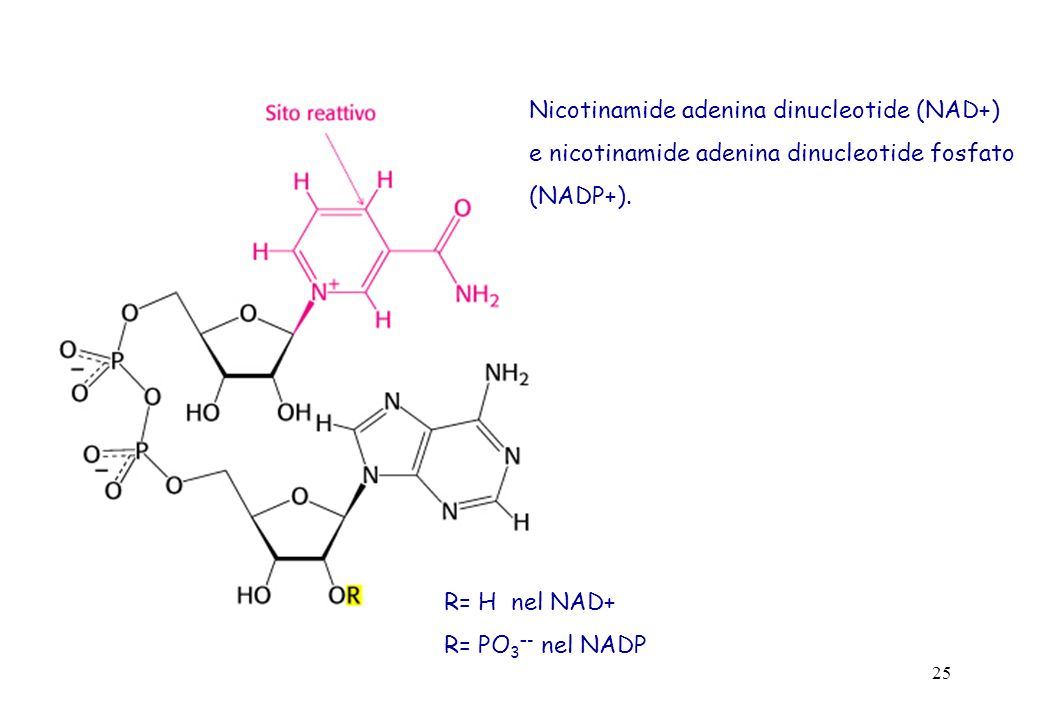 25 Nicotinamide adenina dinucleotide (NAD+) e nicotinamide adenina dinucleotide fosfato (NADP+). R= H nel NAD+ R= PO 3 –- nel NADP