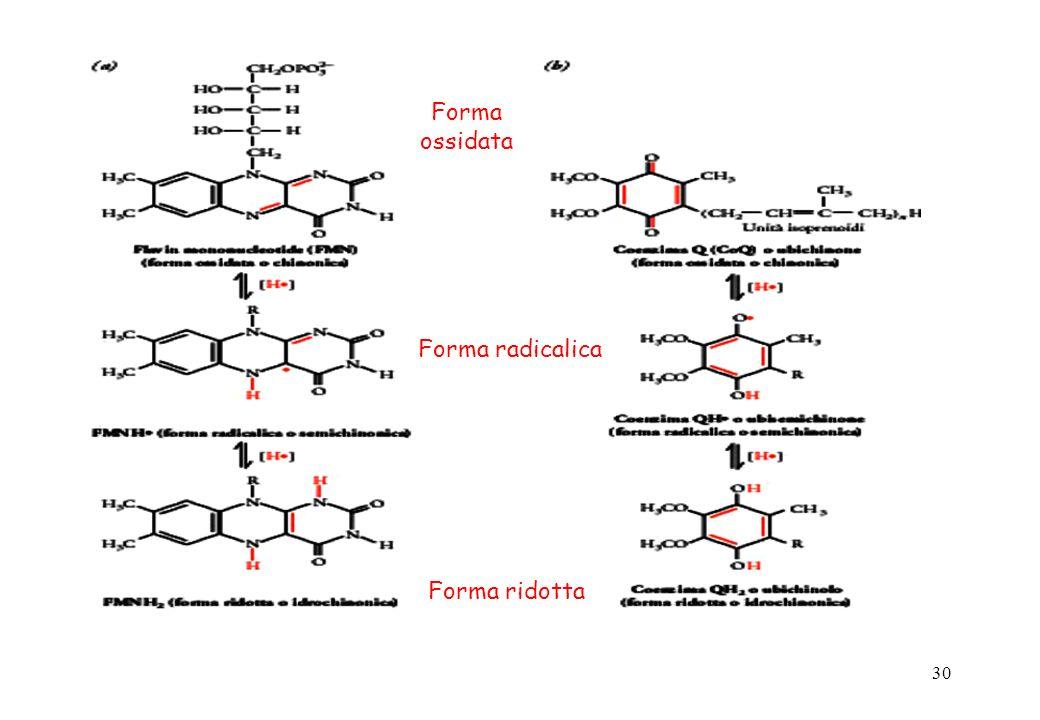 30 Forma ossidata Forma radicalica Forma ridotta