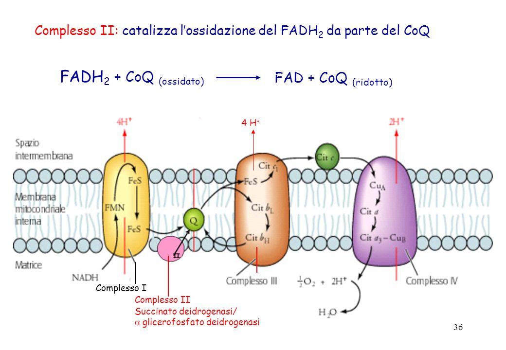36 Complesso II: catalizza lossidazione del FADH 2 da parte del CoQ FAD + CoQ (ridotto) FADH 2 + CoQ (ossidato) 4 H + Complesso I Complesso II Succina