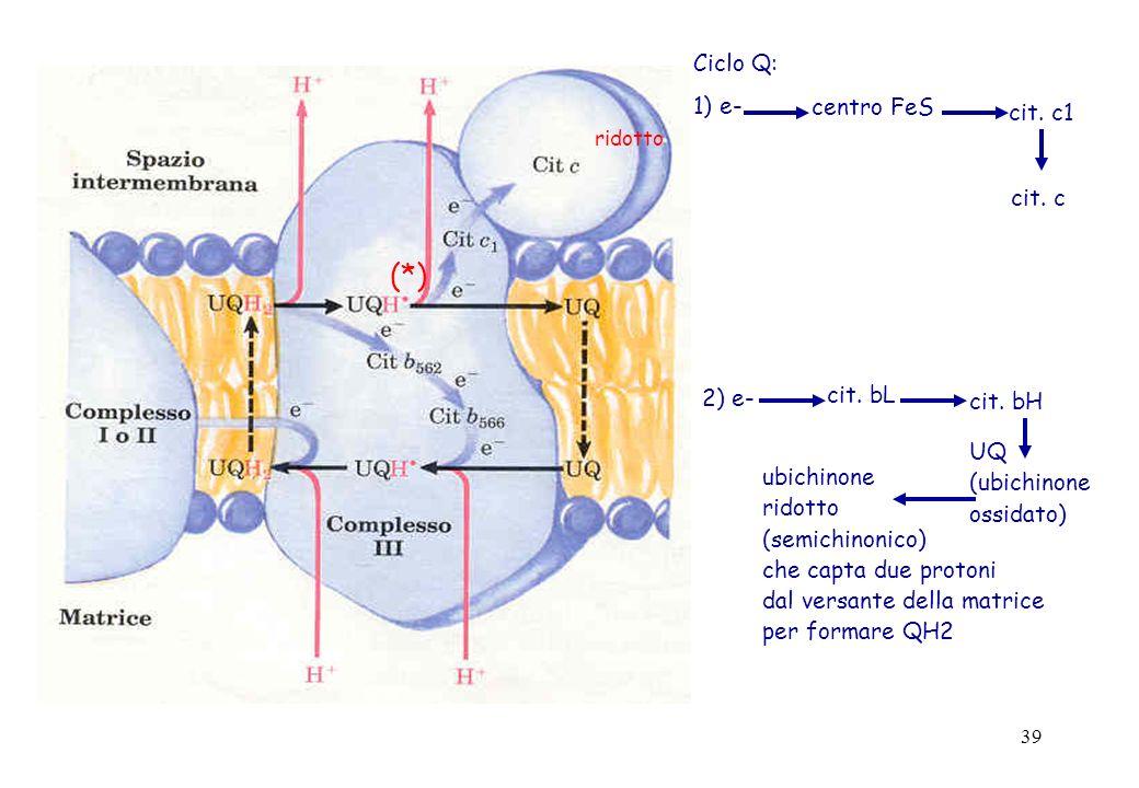 39 ridotto (*) Ciclo Q: 1) e- centro FeS cit. c1 cit. c 2) e- cit. bL cit. bH UQ (ubichinone ossidato) ubichinone ridotto (semichinonico) che capta du