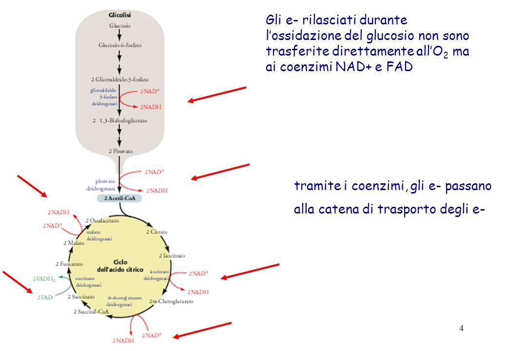 4 Gli e- rilasciati durante lossidazione del glucosio non sono trasferite direttamente allO 2 ma ai coenzimi NAD+ e FAD tramite i coenzimi, gli e- pas