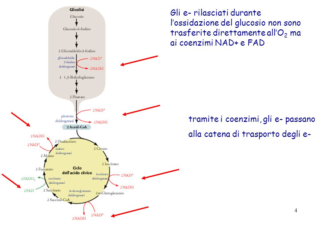 55 Proteine disaccoppianti UCP, UnCoupling Proteins UCP 1 (termogenina): presente nel tessuto adiposo bruno UCP 2:ubiquitaria UCP 3: muscolo scheletrico UCP 4,UCP 5: cervello