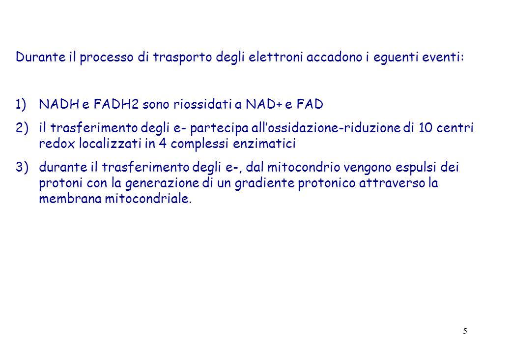 5 Durante il processo di trasporto degli elettroni accadono i eguenti eventi: 1)NADH e FADH2 sono riossidati a NAD+ e FAD 2)il trasferimento degli e-