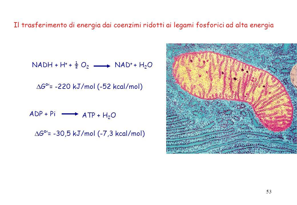 53 NADH + H + + ½ O 2 NAD + + H 2 O G°= -220 kJ/mol (-52 kcal/mol) ADP + Pi ATP + H 2 O G°= -30,5 kJ/mol (-7,3 kcal/mol) Il trasferimento di energia d