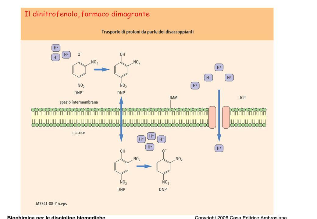 54 Il dinitrofenolo, farmaco dimagrante