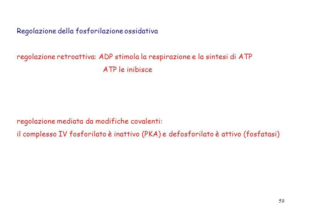 59 Regolazione della fosforilazione ossidativa regolazione retroattiva: ADP stimola la respirazione e la sintesi di ATP ATP le inibisce regolazione me
