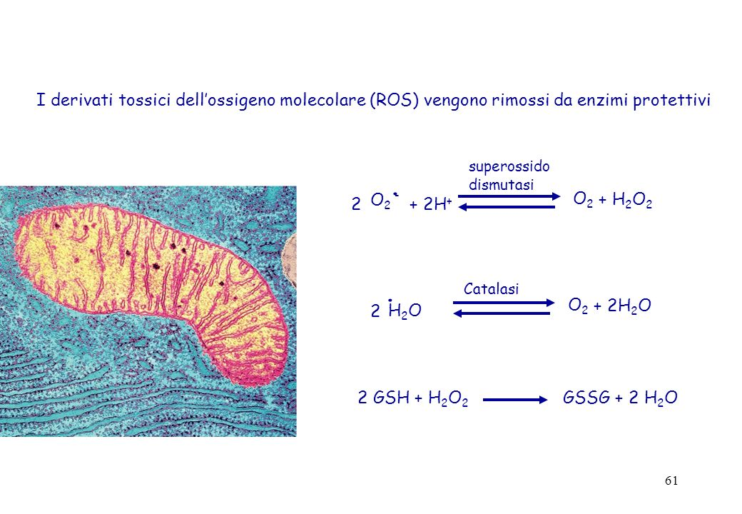 61 I derivati tossici dellossigeno molecolare (ROS) vengono rimossi da enzimi protettivi O 2 -. 2 + 2H + O2O2 + H 2 O 2 superossido dismutasi H2OH2O.