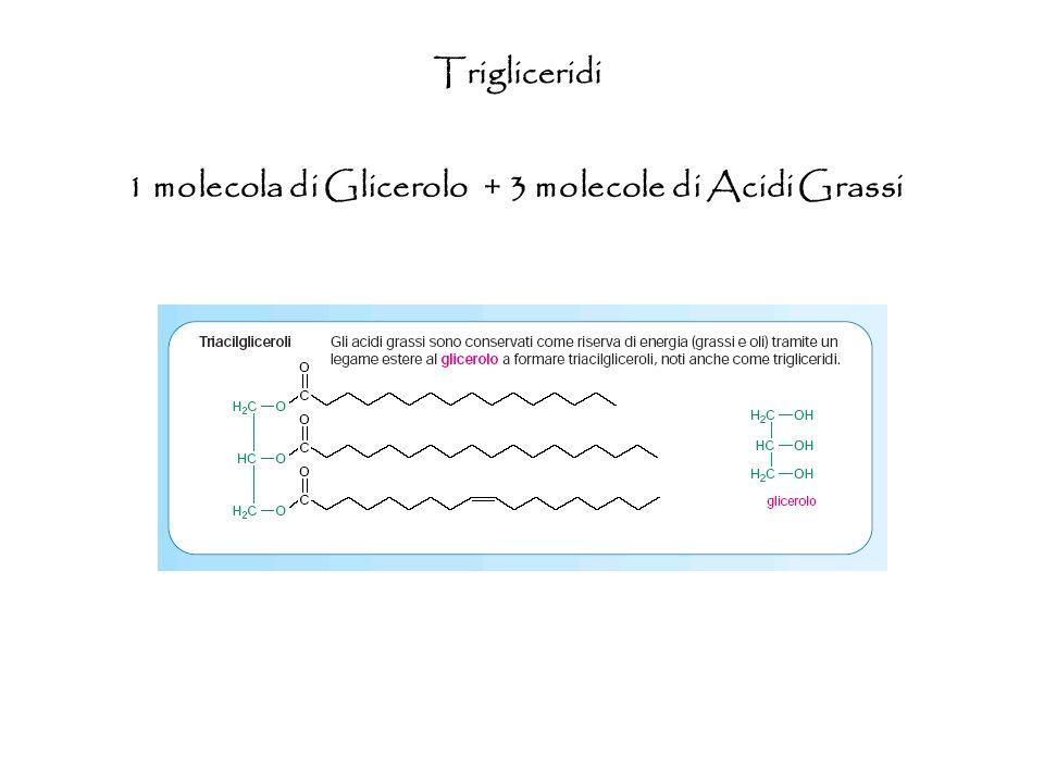 1 molecola di Glicerolo + 3 molecole di Acidi Grassi Trigliceridi