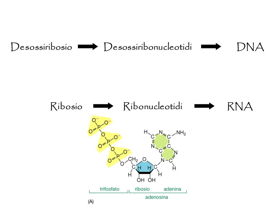 Desossiribosio Desossiribonucleotidi DNA Ribosio Ribonucleotidi RNA