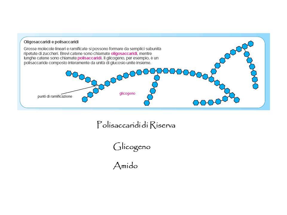 Glicogeno Amido Polisaccaridi di Riserva