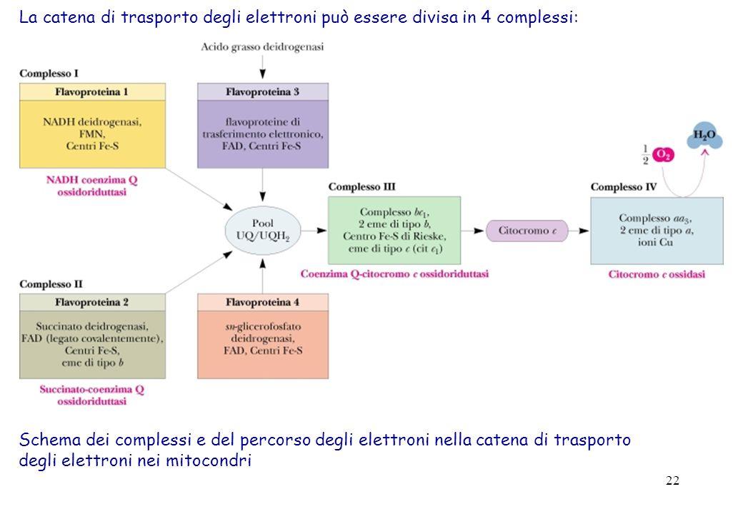 22 Schema dei complessi e del percorso degli elettroni nella catena di trasporto degli elettroni nei mitocondri La catena di trasporto degli elettroni può essere divisa in 4 complessi: