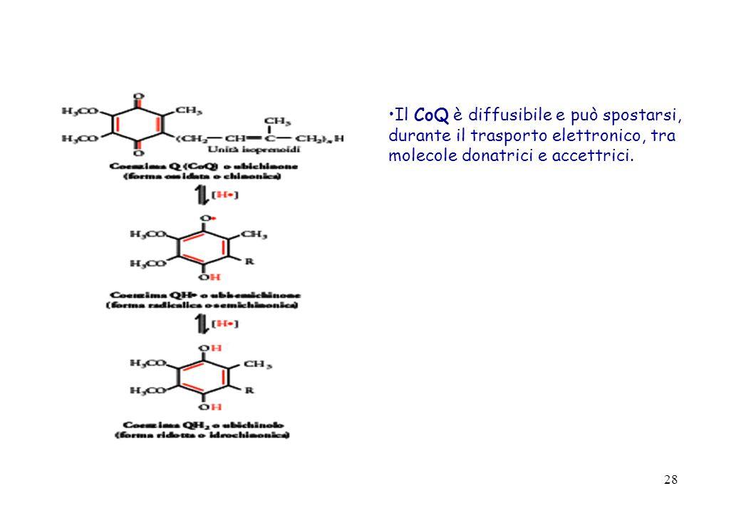 28 Il CoQ è diffusibile e può spostarsi, durante il trasporto elettronico, tra molecole donatrici e accettrici.