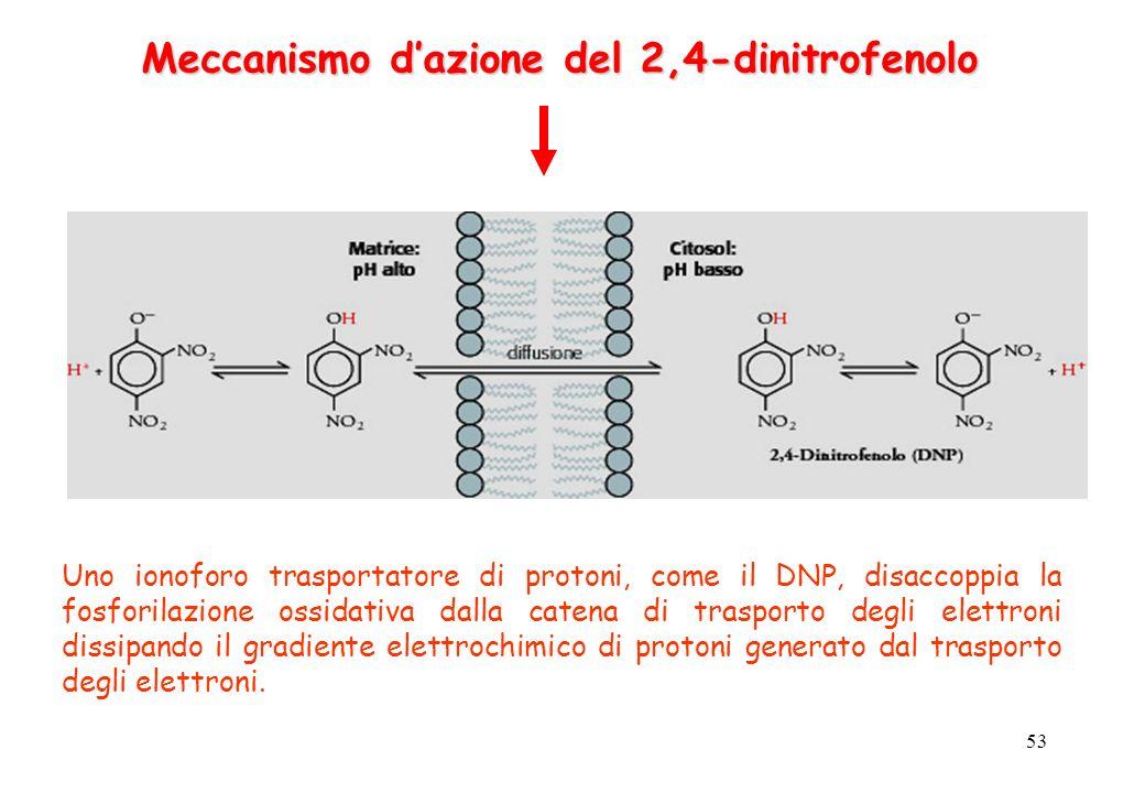 53 Meccanismo dazione del 2,4-dinitrofenolo Uno ionoforo trasportatore di protoni, come il DNP, disaccoppia la fosforilazione ossidativa dalla catena di trasporto degli elettroni dissipando il gradiente elettrochimico di protoni generato dal trasporto degli elettroni.