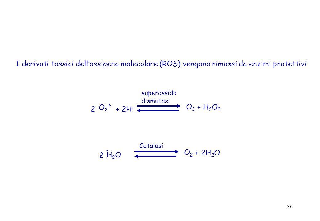 56 I derivati tossici dellossigeno molecolare (ROS) vengono rimossi da enzimi protettivi O 2 -.