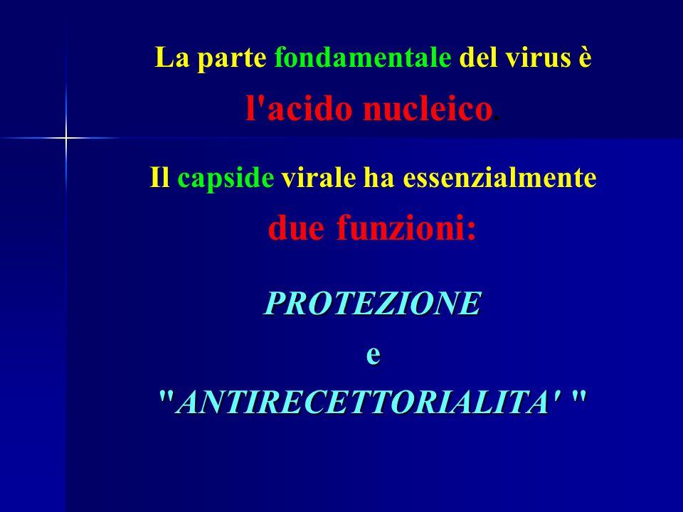 La parte fondamentale del virus è l'acido nucleico. Il capside virale ha essenzialmente due funzioni:PROTEZIONEe