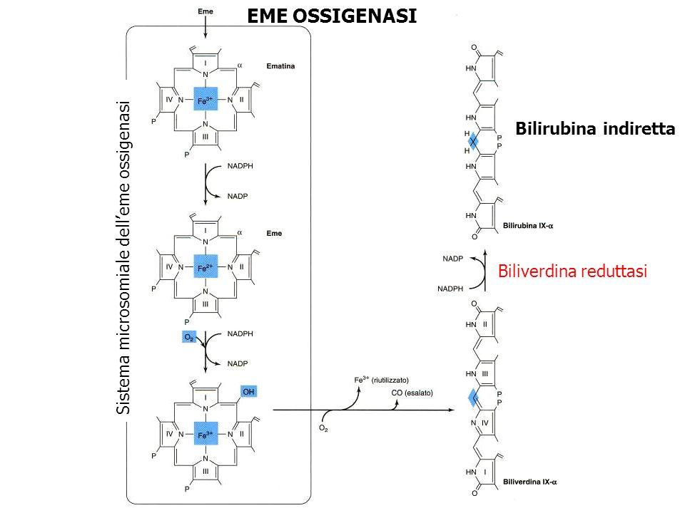 La bilirubina trasportata dallalbumina viene captata dal fegato (ligandina) ed assorbita sulla faccia sinusoidale degli epatociti da un sistema di trasporto facilitato, prima della coniugazione.