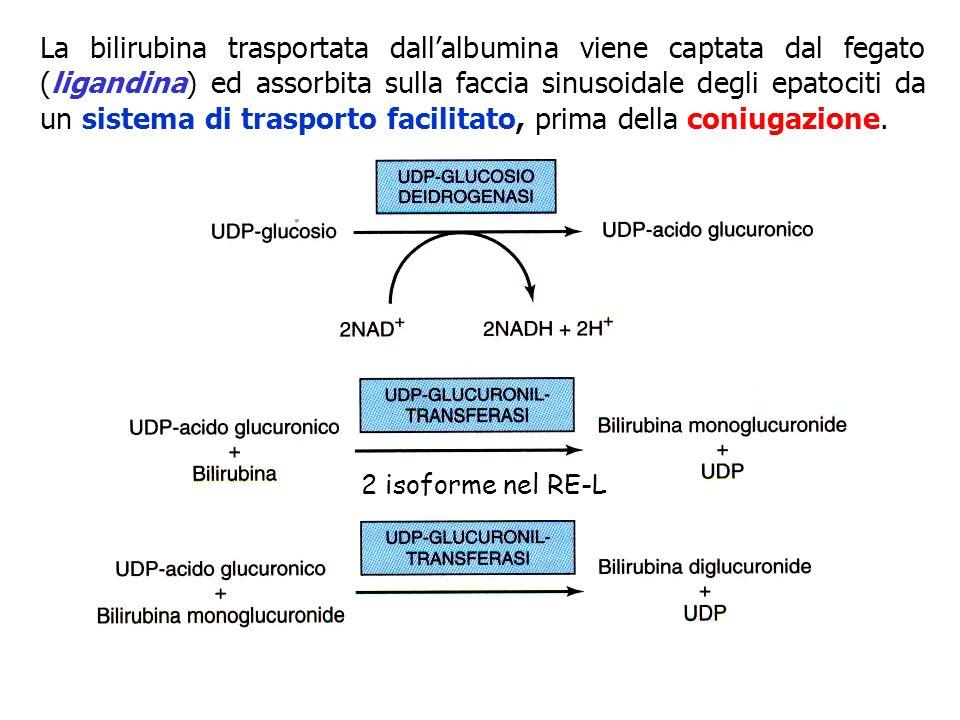 La bilirubina trasportata dallalbumina viene captata dal fegato (ligandina) ed assorbita sulla faccia sinusoidale degli epatociti da un sistema di tra