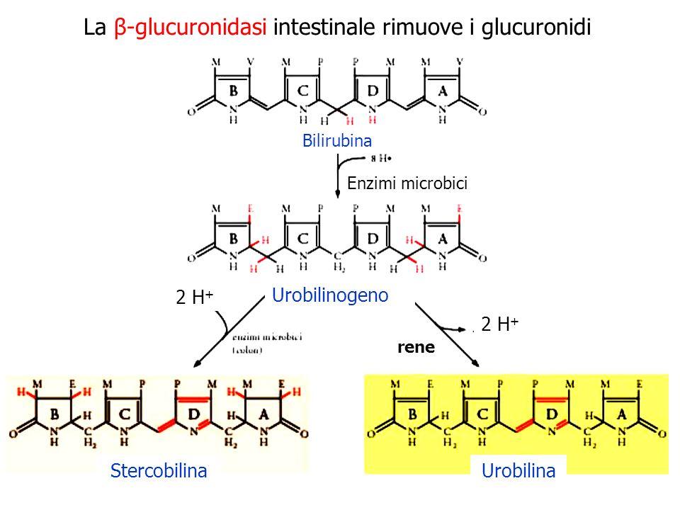 Bilirubina Urobilinogeno StercobilinaUrobilina Enzimi microbici rene La β-glucuronidasi intestinale rimuove i glucuronidi 2 H +
