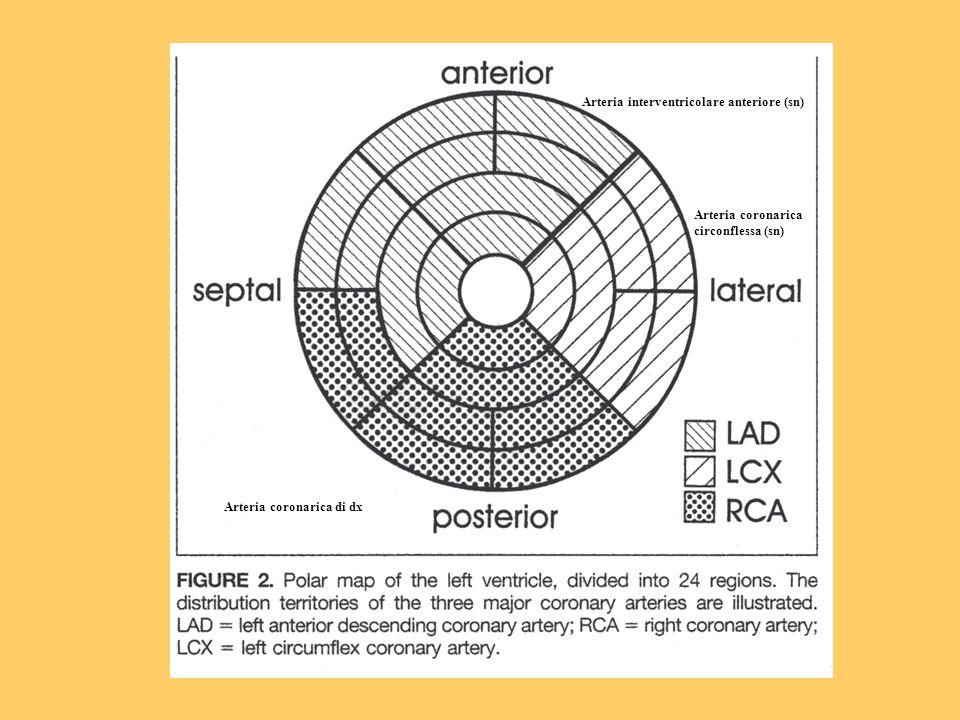 Arteria interventricolare anteriore (sn) Arteria coronarica circonflessa (sn) Arteria coronarica di dx
