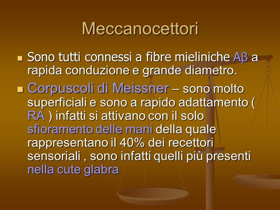 Meccanocettori Sono tutti connessi a fibre mieliniche A β a rapida conduzione e grande diametro.