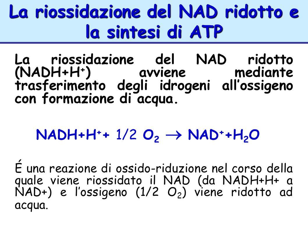 La riossidazione del NAD ridotto e la sintesi di ATP La riossidazione del NAD ridotto (NADH+H + ) avviene mediante trasferimento degli idrogeni alloss