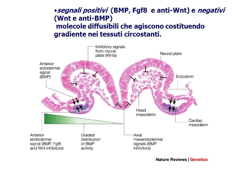 segnali positivi (BMP, Fgf8 e anti-Wnt) e negativi (Wnt e anti-BMP) molecole diffusibili che agiscono costituendo gradiente nei tessuti circostanti.