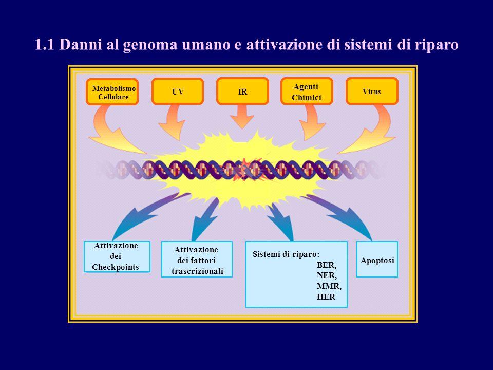 Metabolismo Cellulare UV IR Agenti Chimici Errori di Replicazione Attivazione dei fattori trascrizionali Sistemi di riparo: BER, NER, MMR, HER Apoptos