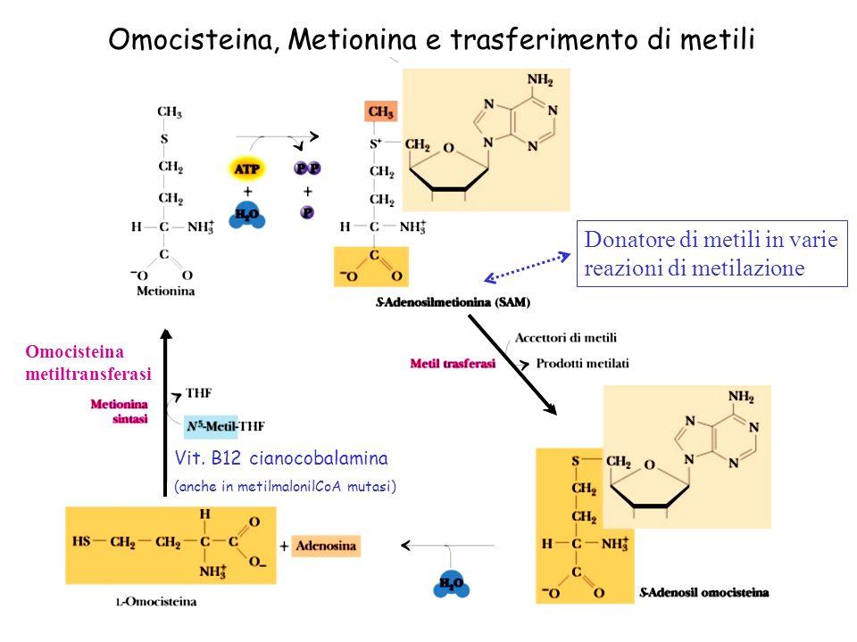 Donatore di metili in varie reazioni di metilazione Omocisteina, Metionina e trasferimento di metili Metionina adenosiltransferasi Omocisteina metiltr