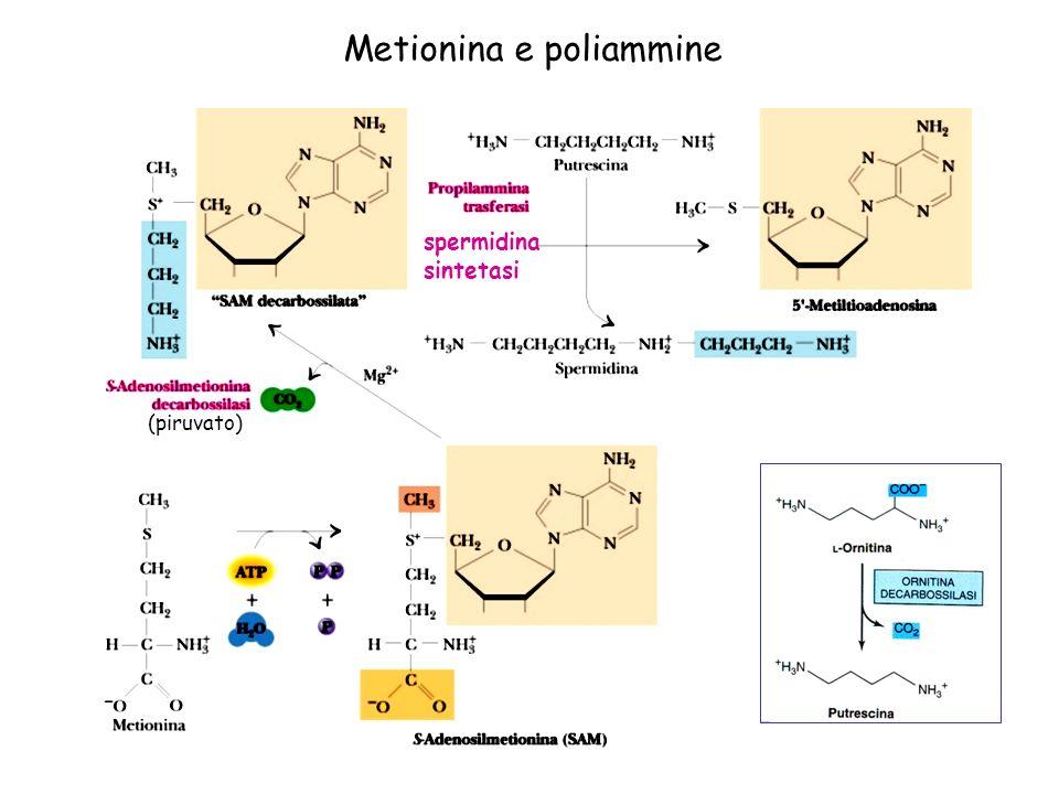 Metionina e poliammine spermidina sintetasi (piruvato)