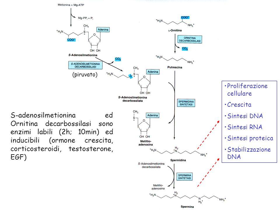 S-adenosilmetionina ed Ornitina decarbossilasi sono enzimi labili (2h; 10min) ed inducibili (ormone crescita, corticosteroidi, testosterone, EGF) (pir