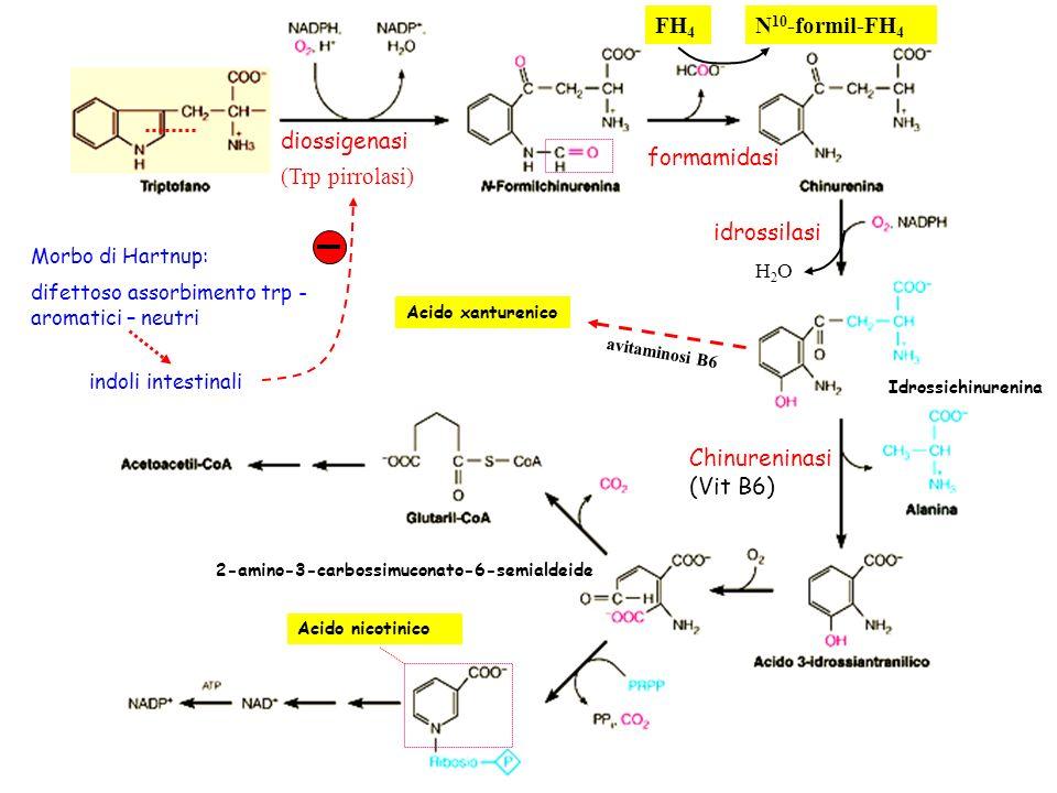 diossigenasi (Trp pirrolasi) formamidasi FH 4 N 10 -formil-FH 4 idrossilasi Idrossichinurenina Chinureninasi (Vit B6) Acido nicotinico Acido xantureni