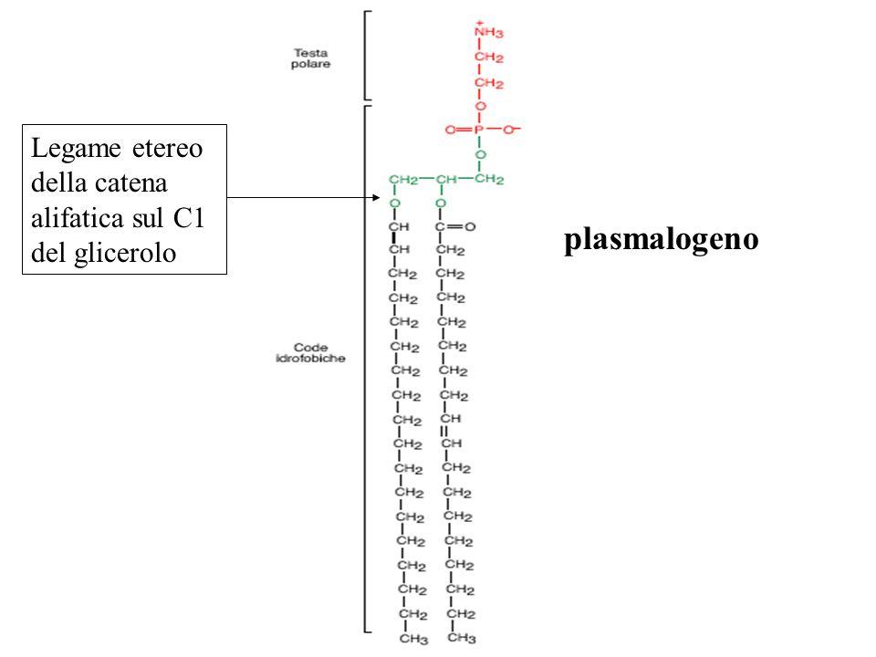 plasmalogeno Legame etereo della catena alifatica sul C1 del glicerolo
