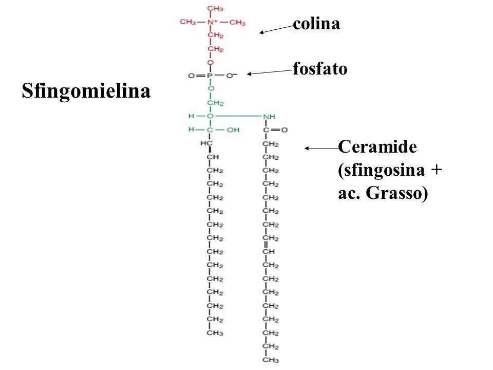 Sfingomielina colina fosfato Ceramide (sfingosina + ac. Grasso)