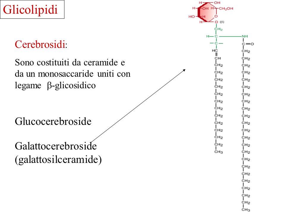 Cerebrosidi : Sono costituiti da ceramide e da un monosaccaride uniti con legame -glicosidico Glucocerebroside Galattocerebroside (galattosilceramide)