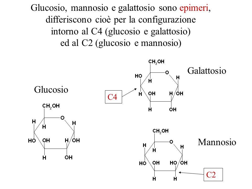 Glucosio, mannosio e galattosio sono epimeri, differiscono cioè per la configurazione intorno al C4 (glucosio e galattosio) ed al C2 (glucosio e manno