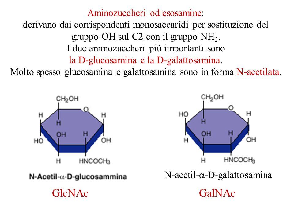 Aminozuccheri od esosamine: derivano dai corrispondenti monosaccaridi per sostituzione del gruppo OH sul C2 con il gruppo NH 2. I due aminozuccheri pi