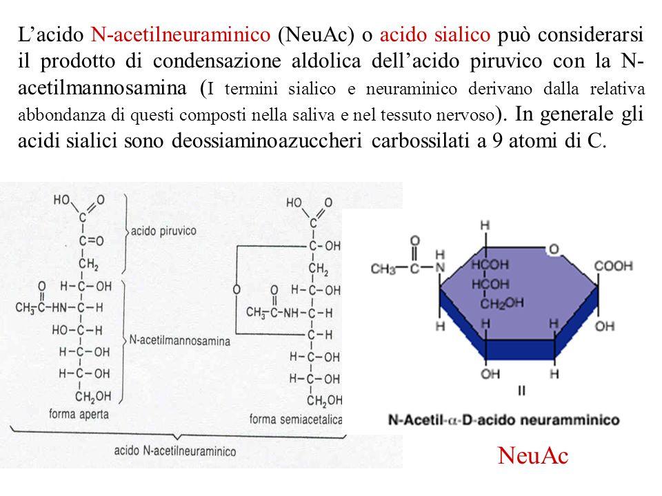 Lacido N-acetilneuraminico (NeuAc) o acido sialico può considerarsi il prodotto di condensazione aldolica dellacido piruvico con la N- acetilmannosami