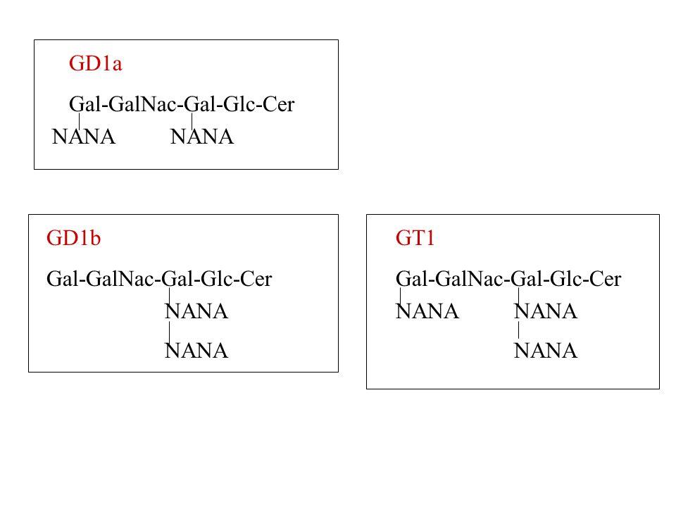 GD1a Gal-GalNac-Gal-Glc-Cer NANA GD1b Gal-GalNac-Gal-Glc-Cer NANA GT1 Gal-GalNac-Gal-Glc-Cer NANA