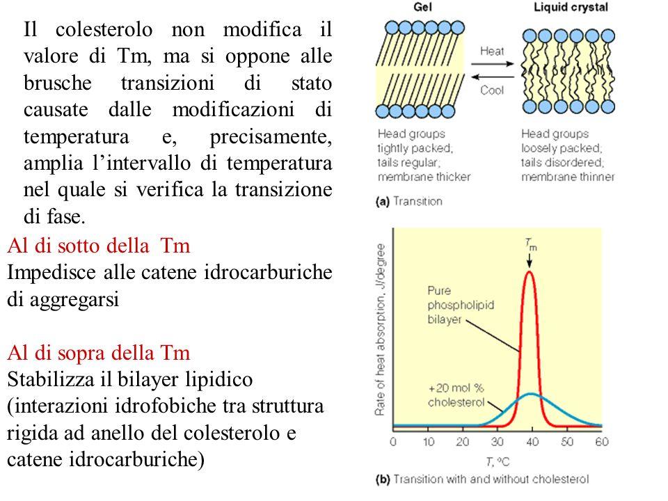 Il colesterolo non modifica il valore di Tm, ma si oppone alle brusche transizioni di stato causate dalle modificazioni di temperatura e, precisamente