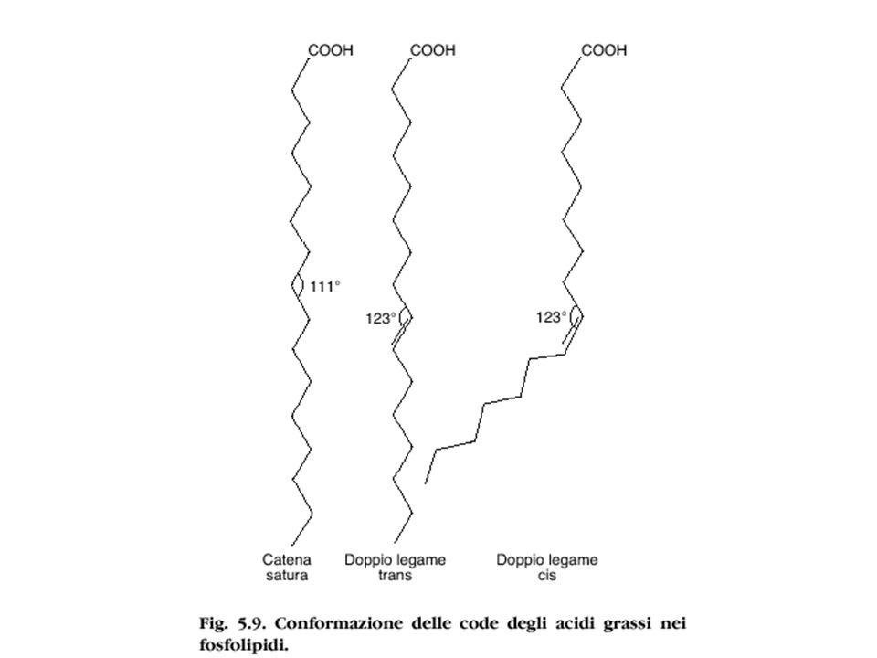 Glicolipidi Gangliosidi I gangliosidi sono una famiglia di glicolipidi caratterizzati dalla presenza di una o più molecole di acido sialico (solitamente acido N- acetilneuraminico).