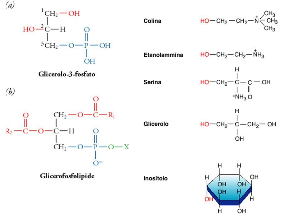 Cerebrosidi : Sono costituiti da ceramide e da un monosaccaride uniti con legame -glicosidico Glucocerebroside Galattocerebroside (galattosilceramide) Glicolipidi