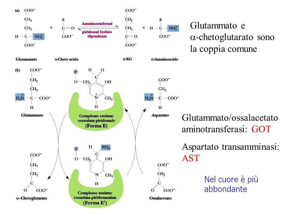 Glutammato/ossalacetato aminotransferasi: GOT Aspartato transamminasi: AST Nel cuore è più abbondante Glutammato e -chetoglutarato sono la coppia comune