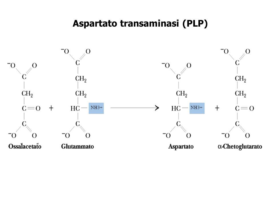 Aspartato transaminasi (PLP) NH3+